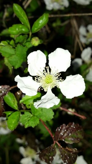 Happy 1st Day Of Spring Springtime Easter Flowers Wild Blackberry Now Let's Go Take Tons Of Pics Wild Dew Berry Bloom