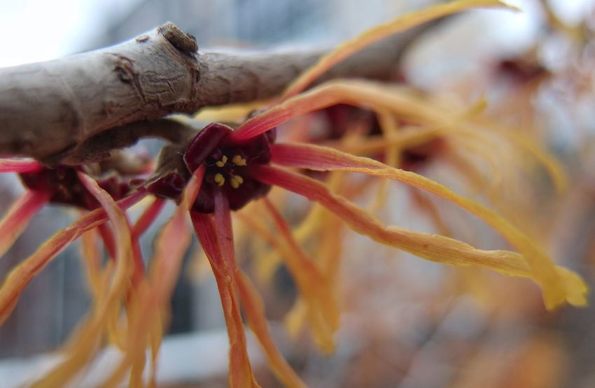 A reminder of what's to come. Focus On Subject depth of field Blurred Background Witch Hazel Photography Flowering Tree Close-up Nature Day Outdoors