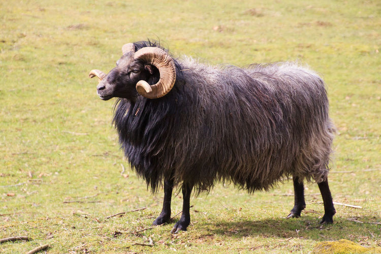 a Ram on the
