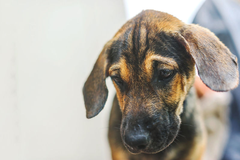 Brindle puppy, small dog, a small hunting dog was staring at something