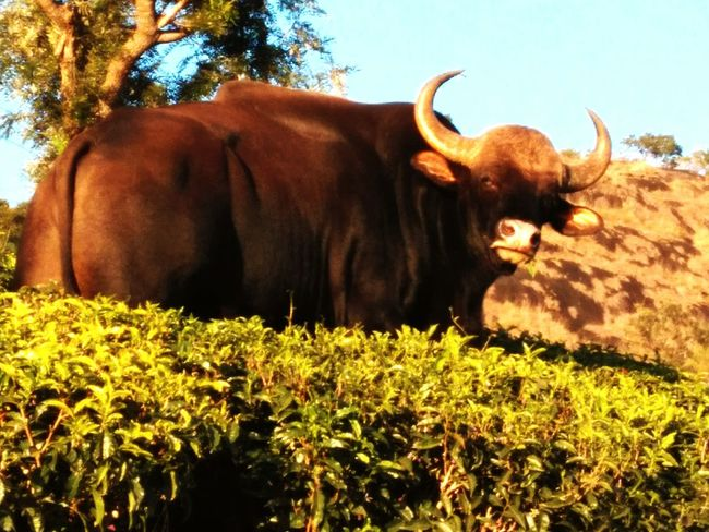 """Bison Teaestates Nonsuch TrekkingDay Droog Coonoordiaries now that's one """"you better run before I catch you"""" look.!"""