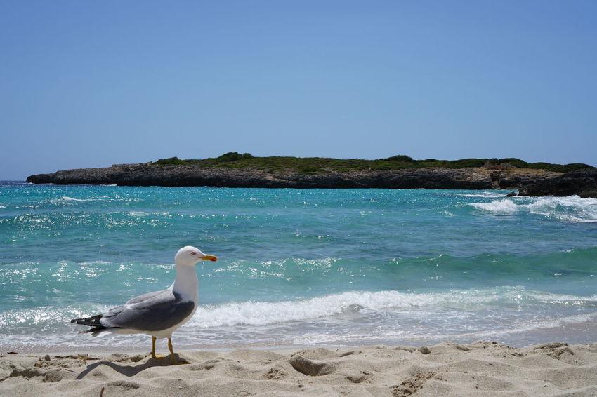 Cala Domingos Cala Varques Calas De Mallorca Mallorca Mallorca (Spain) Palma De Mallorca 2017 Platja Playa #beach Seagull Sheep