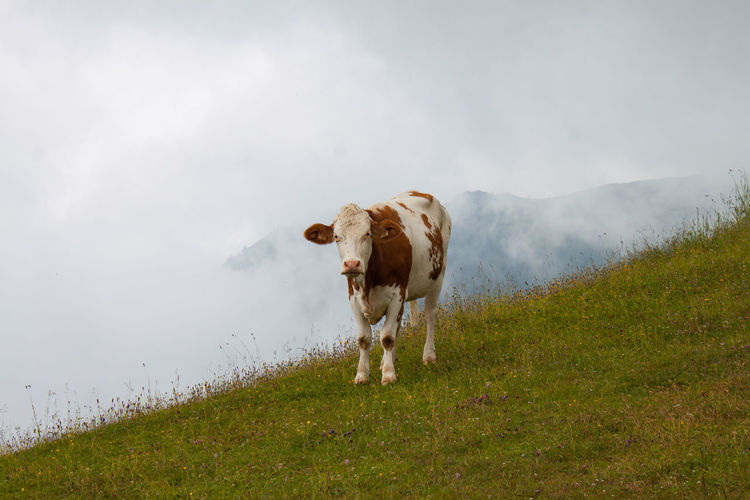 Cow Mountain Cow Kuh Kitzbühel Water Cow Rural Scene Agriculture Cattle Animal Themes Sky Grass Foggy Highland Cattle Domestic Cattle Grazing