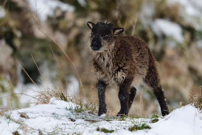 Animals In The Wild Check This Out EyeEm Best Shots EyeEm Nature Lover Lamb Nature Taking Photos Winter Animal Themes Animal Wildlife Close-up Cold Temperature Cute Day Focus On Foreground Nature_collection No People One Animal Outdoors Portrait Selective Focus Sheep Snow Wildlife Young Animal