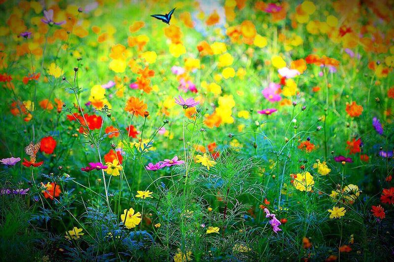 コスモス Flower