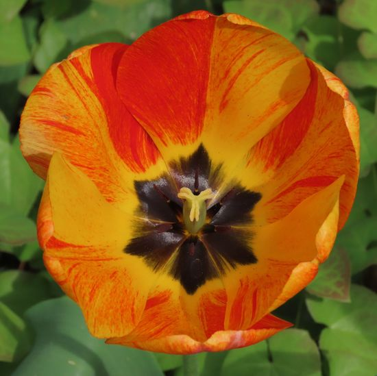 Flowering plant tulip high angle view orange petals wide open green leaves springtime beauty nature outdoors Flower Head Growth Beauty In Nature Close-up