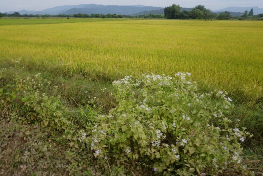 Field Nature Agriculture Growth Landscape Crop  Tranquility Green Color No People Rural Scene Day Beauty In Nature Tranquil Scene Outdoors Plant Scenics Grass Flower Freshness