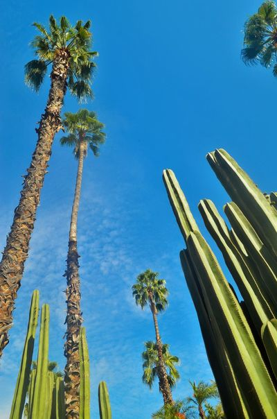 Architecture Built Structure Cacti Cactus Clear Sky Day Low Angle View Majorelle Majorellegardens Morocco Nature No People Outdoors Palm Tree Sky Tree
