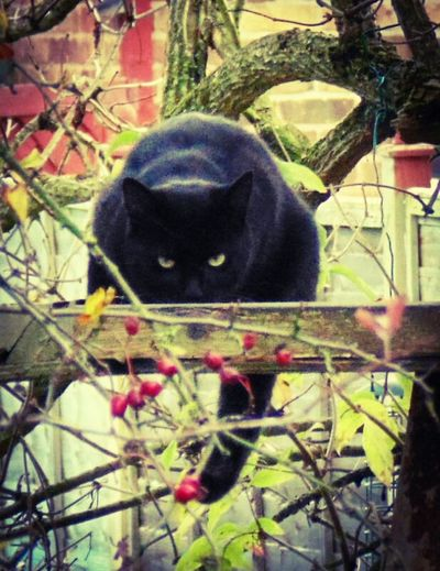 Evil Black Cat Cat Birdtables Hunter