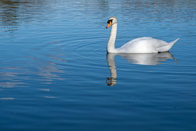 Mute swan on a lake with refection in water