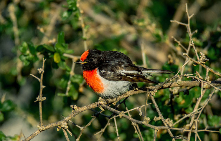 red-capped robin (Petroica goodenovii) Birding Wildlife & Nature A77ll Animal Animal Themes Animal Wildlife Animals In The Wild Beautiful Birds Beauty In Nature Bird Day Fauna Nature One Animal Outdoors Perching Plant Red-capped Robin Robin Shepparton Sony Photography Tree