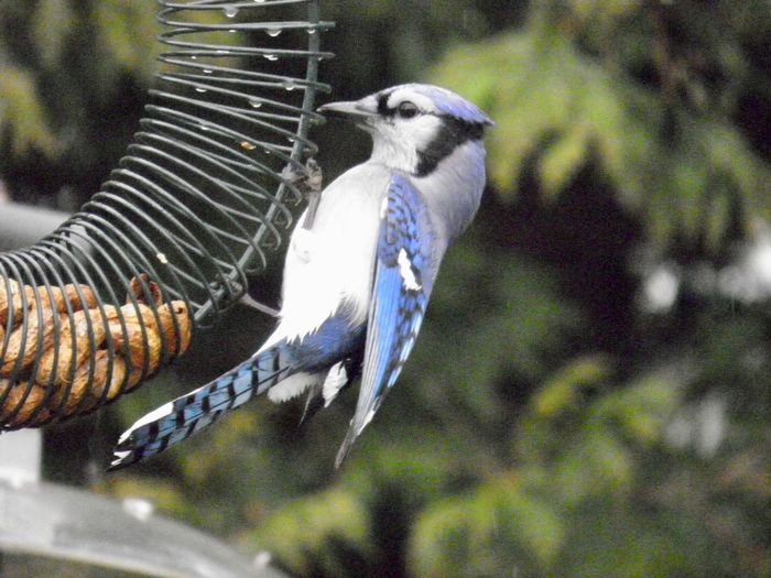 Blue jay at the feeder Birds of EyeEm beauty in nature animal themes outdoors birdwatching focus on the foreground One Animal Animal Wildlife No People