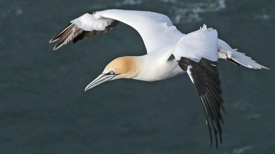 Gannet flying over sea