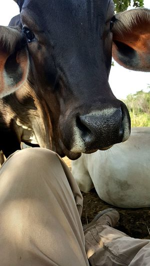 Hello From The Other Side Cow Mexican Country