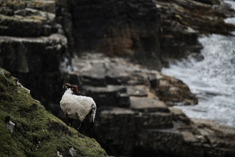 Sheep perching on rock formation
