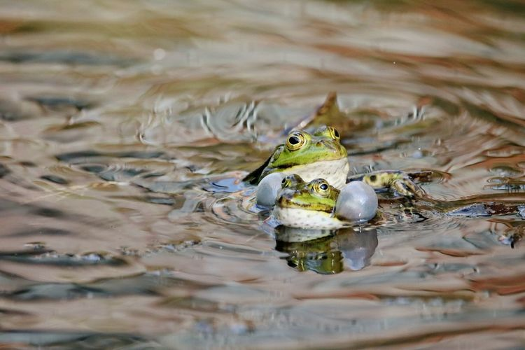 frogs mating... Liebe Frosch Frösche Reptile Animal Wildlife Water Animals In The Wild One Animal Nature Day Lake No People Outdoors Animal Themes