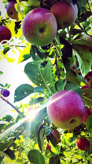 Fruit Food Healthy Eating Freshness Agriculture No People Plant Nature Leaf Day Close-up Beauty In Nature Apples Apple Tree Sunlight Outdoors
