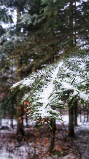 Close-up of frozen tree in forest during winter