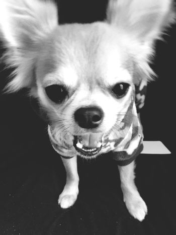 Looking At Camera Domestic Animals Dog Animal Themes Pets Portrait One Animal Mammal Close-up Puppy No People Indoors  Niko Chihuahua Chihuahua Love ♥ Make You Coffee Family 2yearsold