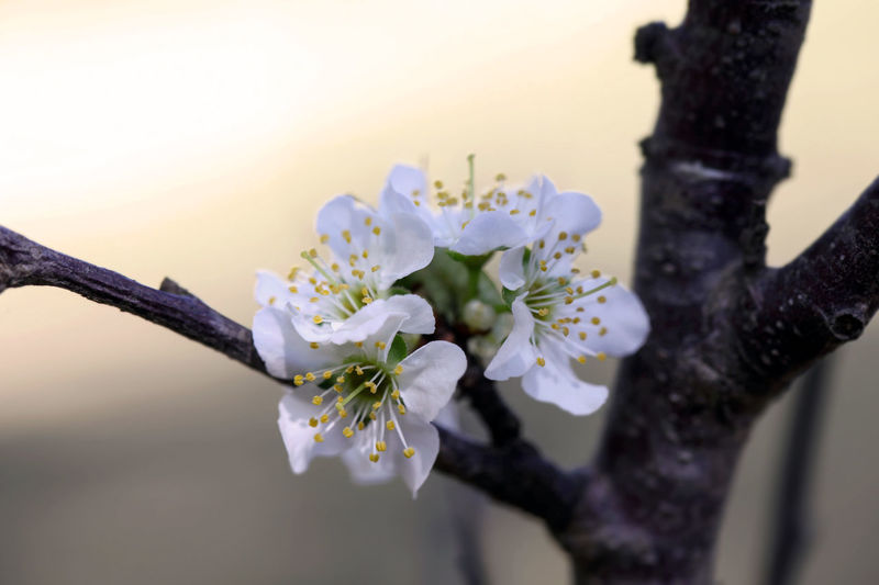 Cherry blossom Apple Blossom Beauty In Nature Blossom Branch Close-up Day Flower Flower Head Fragility Freshness Growth Nature No People Outdoors Petal Springtime Tree White Color