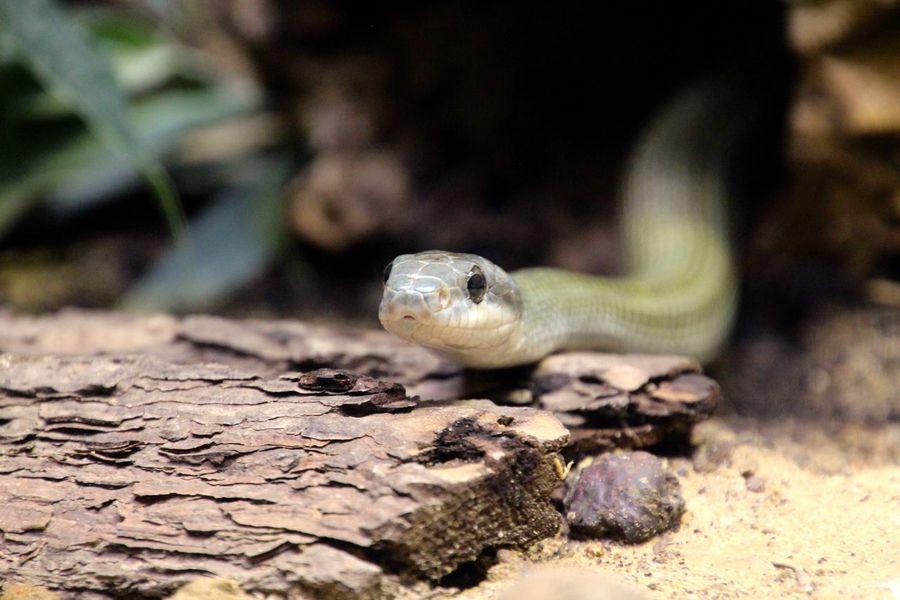Schlange  Open Edit Snake Snakes Animals Reptiles Reptilien Ladyphotographerofthemonth EyeEm Masterclass AMPt_community