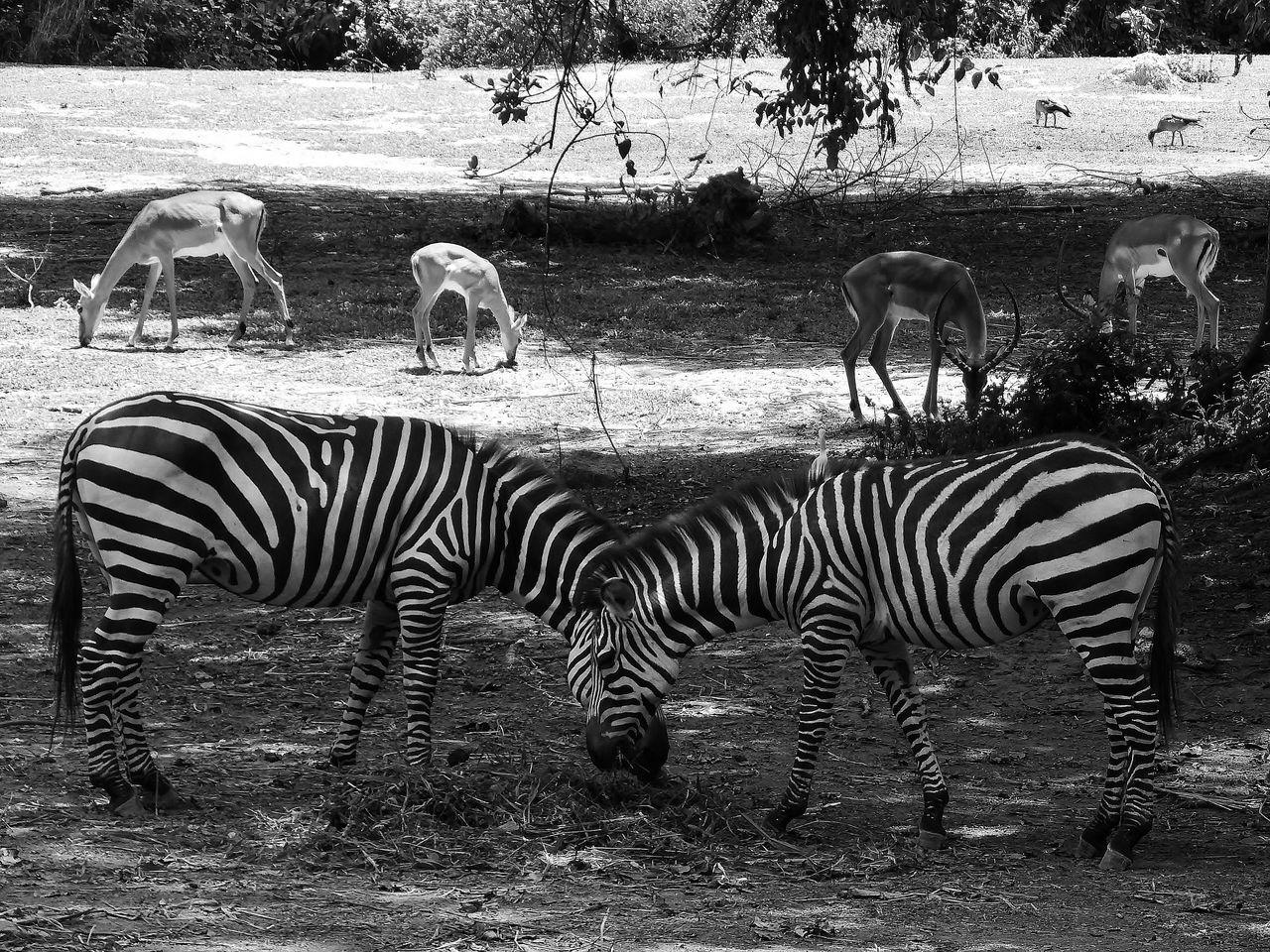 group of animals, animal themes, zebra, animals in the wild, animal, striped, mammal, animal wildlife, vertebrate, field, land, nature, plant, tree, large group of animals, safari, no people, domestic animals, day, herbivorous, herd, outdoors, zoo, drinking