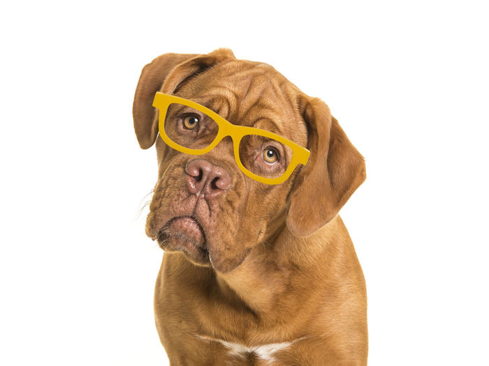 Cute bordeaux dogue portrait facing the camera on a white background wearing yellow glasses Bordeaux Dogue Bordeaux Dogge Dog Portrait Portrait Glasses One Animal Animal Themes Animal Dog Studio Shot Domestic Animals Canine White Background Cut Out Purebred Dog Domestic