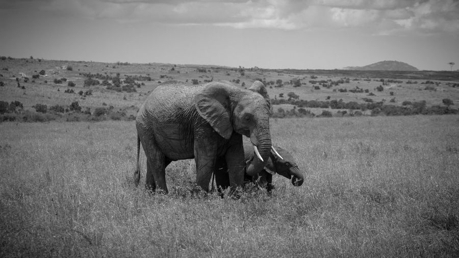 Elephant walking in a field