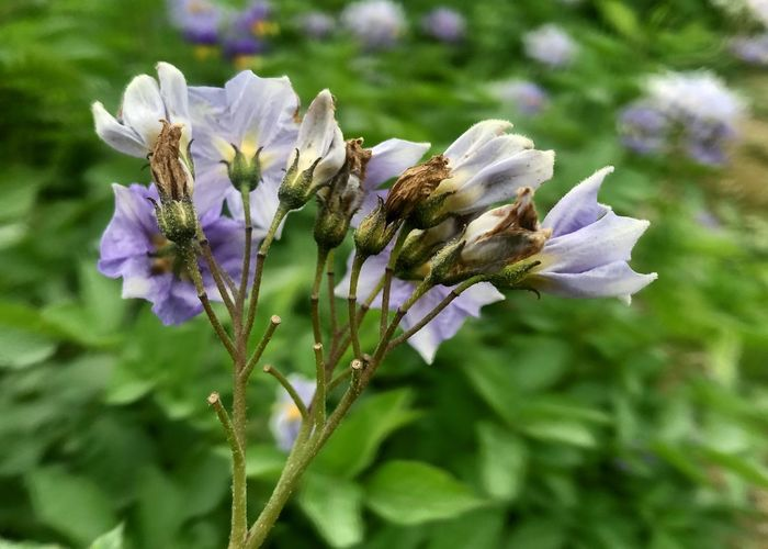 Potato flowers from behind. Botany Potato Flower Purple Flower Potato Crop Potato Field Flowering Plant Flower Plant Freshness Beauty In Nature Growth Fragility Petal Vulnerability  Flower Head Invertebrate Close-up One Animal Insect Inflorescence Focus On Foreground
