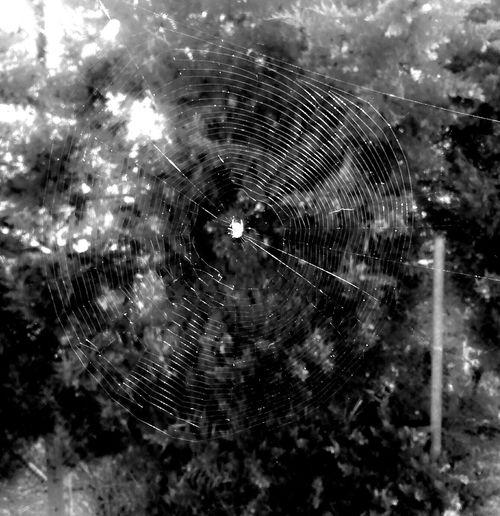 Can you see it? Blackandwhite Black&white Nature Wildlife Aniamls Spider Spiderweb Work Beautiful Nature Blackandwhite Photography