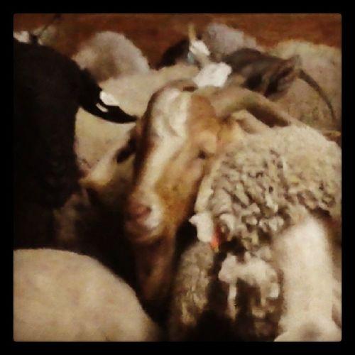 At the farm Cute Goats
