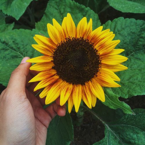 Sunflower Yellow Hand Enjoying Life Beauty In Nature The Week Of Eyeem Flower Leaf Traveling Hello World Showcase March