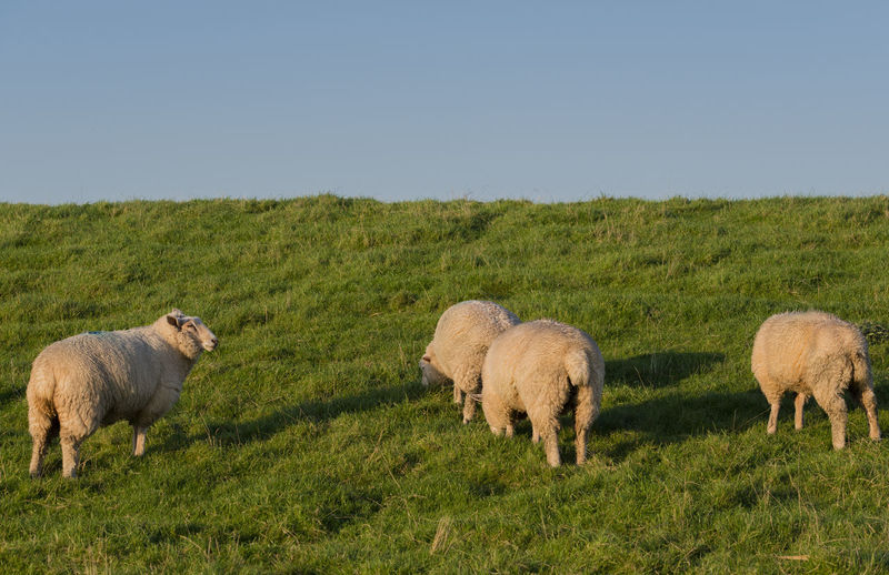 Sheep grazing on grassy field against clear sky