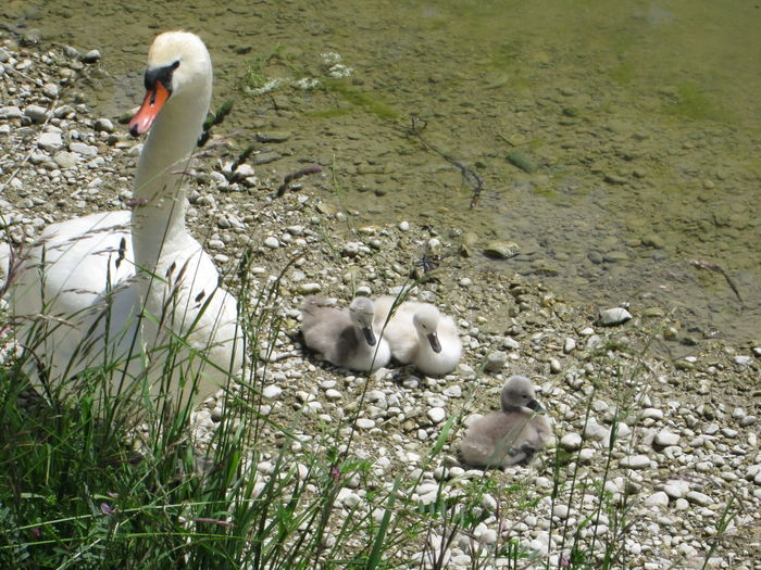 Animal Family Beauty In Nature Bird Lakeshore Nature No People Shoreline Swan Swan Baby Young Animal Young Bird