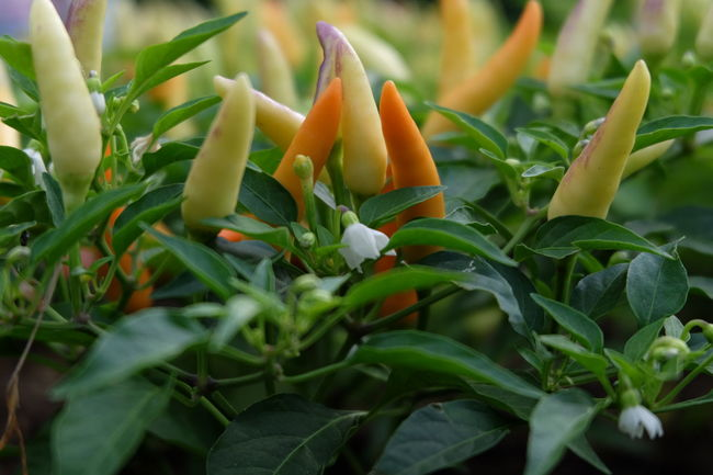 Muti Colored Chilli Greenhouse Vegetable Close-up Plant Plant Life Flowering Plant