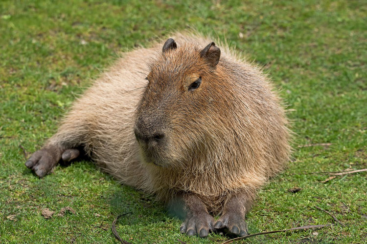Close-up of capybara sitting on grass field