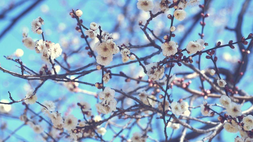 春近し Plum Flower Flowerporn Helios Photowalk Streamzoofamily