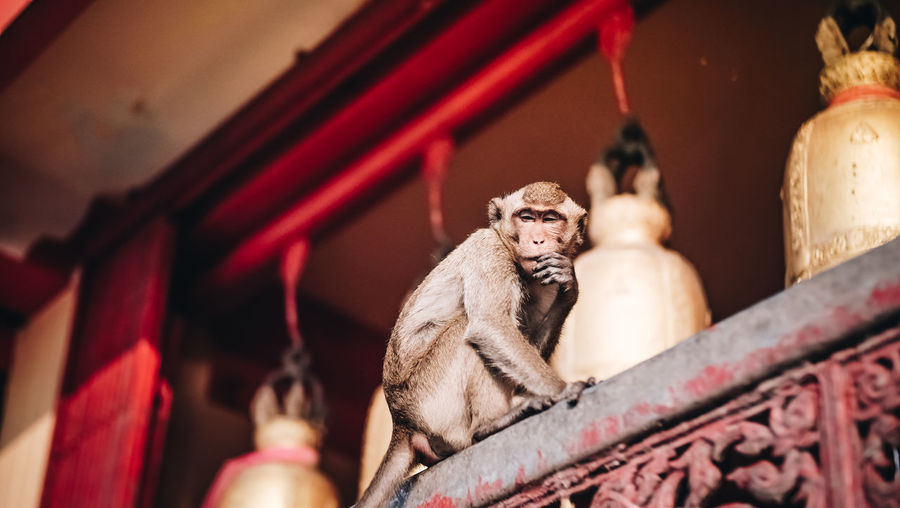 Animal Wildlife Close-up Focus On Foreground Mammal Monkey No People One Animal Primate Red Religion