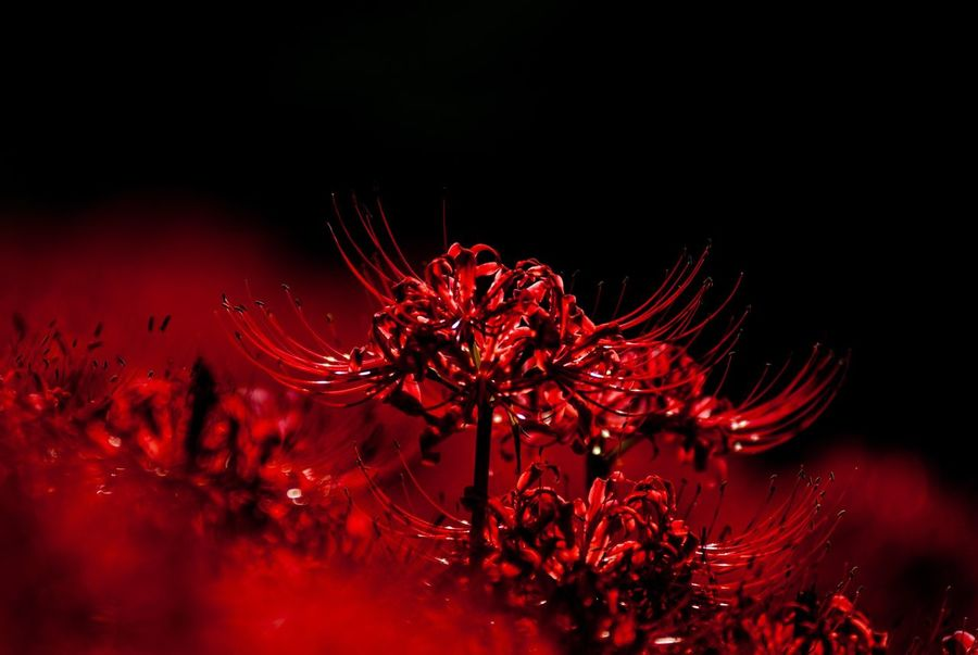 Flower Cluster Amaryllis Clusteramaryllis Lycoris Lycoris Radiata 彼岸花 ひがんばな 曼珠沙華 花 Japan Japan Photography