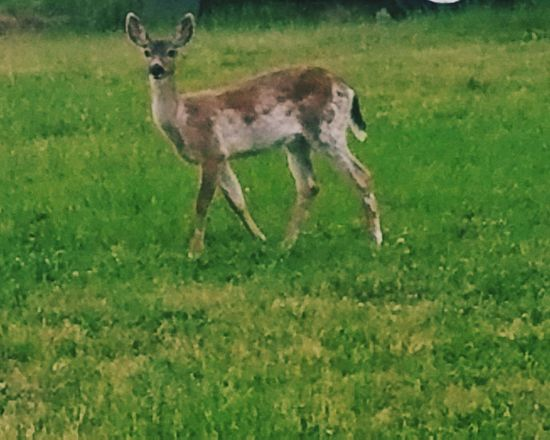 Grass Animal Themes Animals In The Wild One Animal Nature Field Deer Animal Wildlife No People Antler Beauty In Nature Mammal Day Outdoors Stag deer