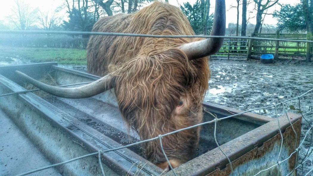 Moo Pollok Park Highland Cows Monster