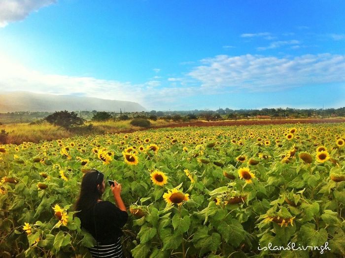 Sunflower Landscape Taking Photos Cloudporn Hawaii Mobile Love