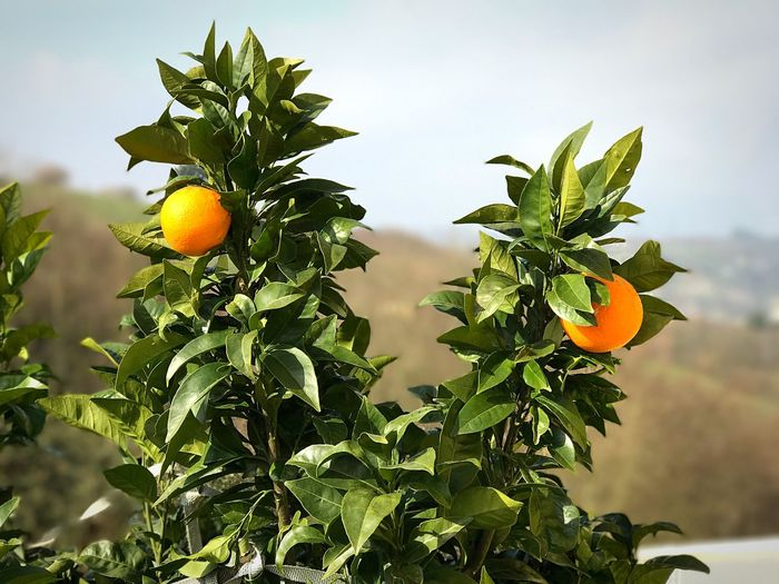 Low angle view of oranges growing on tree against sky