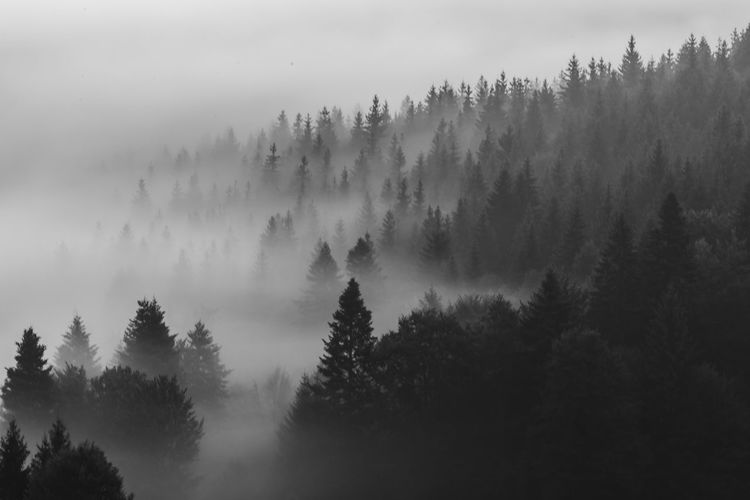 High angle view of pine trees in forest during foggy weather