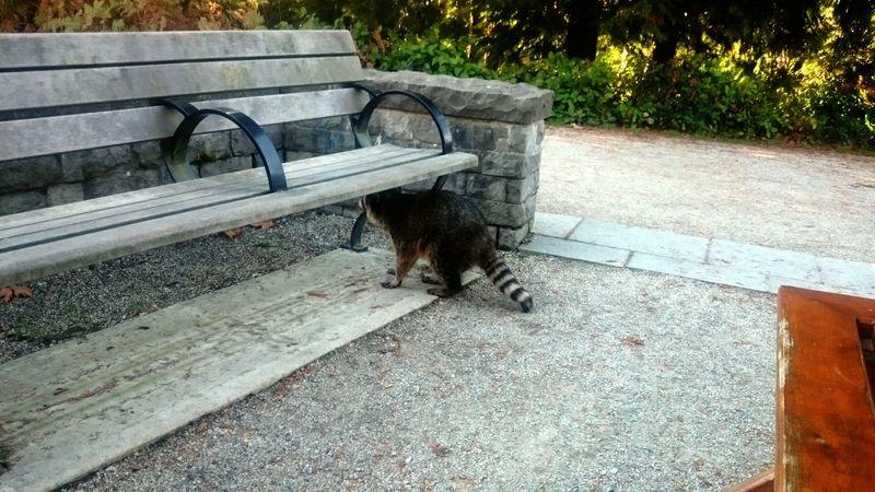 cute raccoon In Canada Canada Vancouver