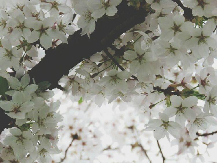 Blossoms  Blossom Tree Blossom Flowers Bloesem Bloesems Enjoying The Sun