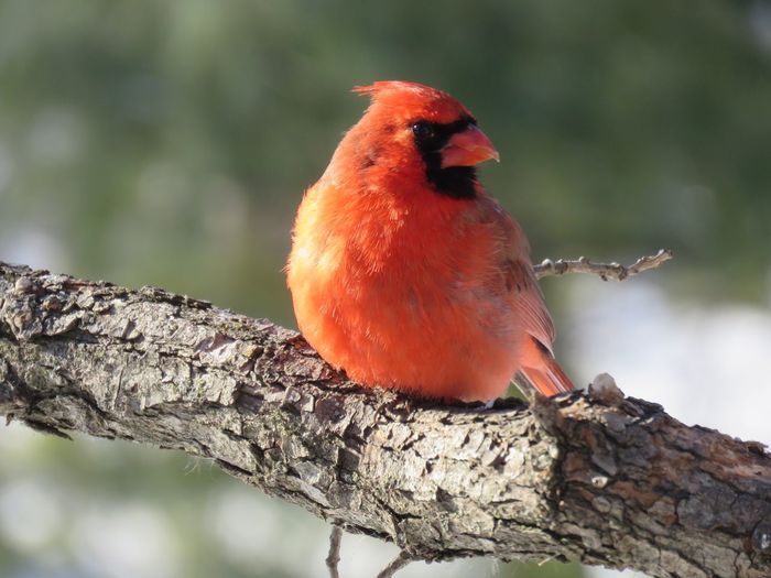 Winter Cardinal Male Animal Red Animals In The Wild Perching Bird One Animal Animal Themes Animal Wildlife Focus On Foreground