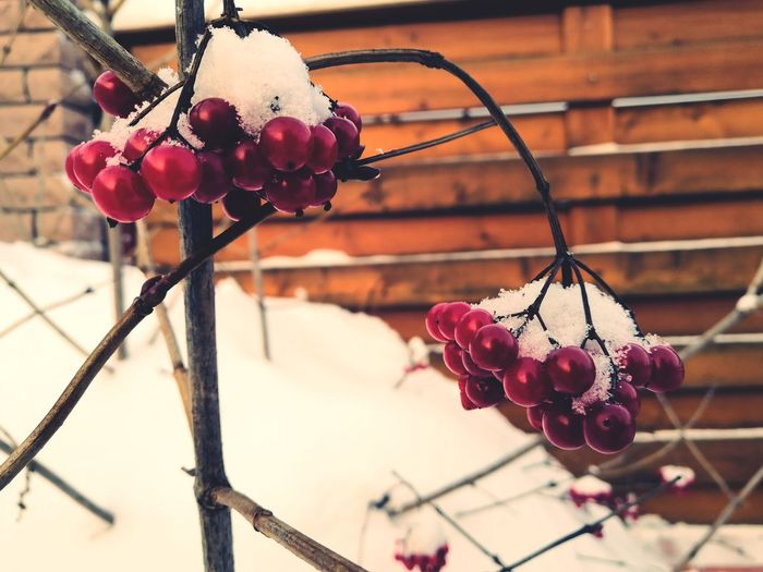 Close-up of snow covered rose hips