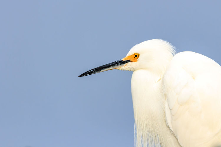 Animal Themes Animal Wildlife Animals In The Wild Beak Bird Close-up Day Egret Heron Nature No People One Animal Outdoors Snowy Egret