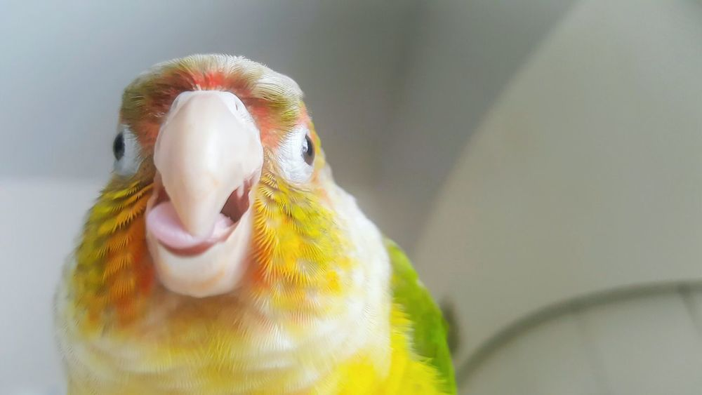 LuceyBird Animal Themes Close-up Beak No People Day Birds🐦⛅ Parrot❤ Green Cheek Conure Parrots Of Eyeem Colorful Life One Animal Domestic Bird Bright Colors Parrot Lover Bird Photography Domestic Life Birds Of EyeEm  Birds_collection Pet Photography  Petslife Petsofeyeem Animal Head  Funny Faces Animal Photography Pet Portraits Mix Yourself A Good Time Visual Creativity
